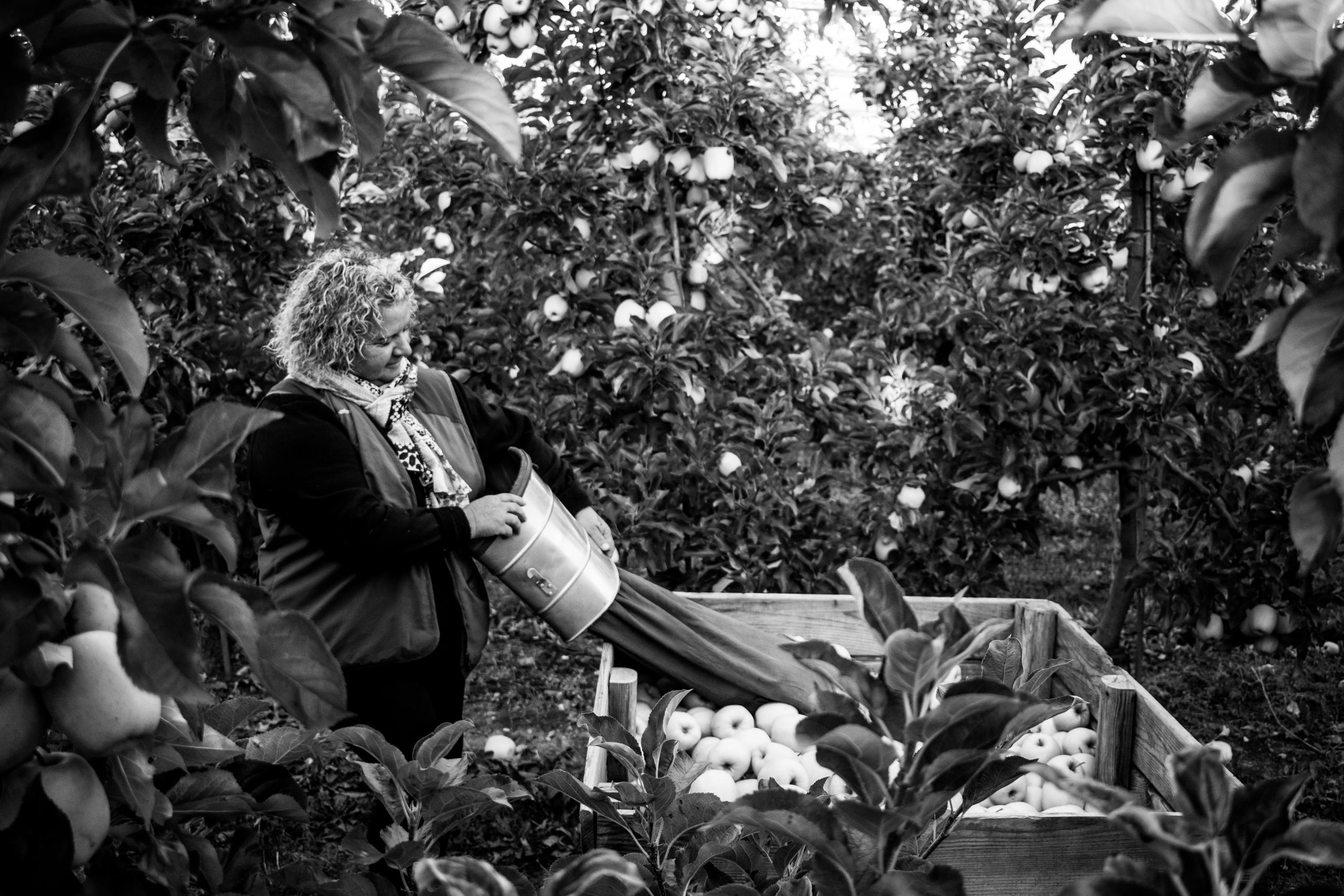 La recogida de la manzana en Francia es un trabajo de temporada que se realiza entre los meses de septiembre y octubre.