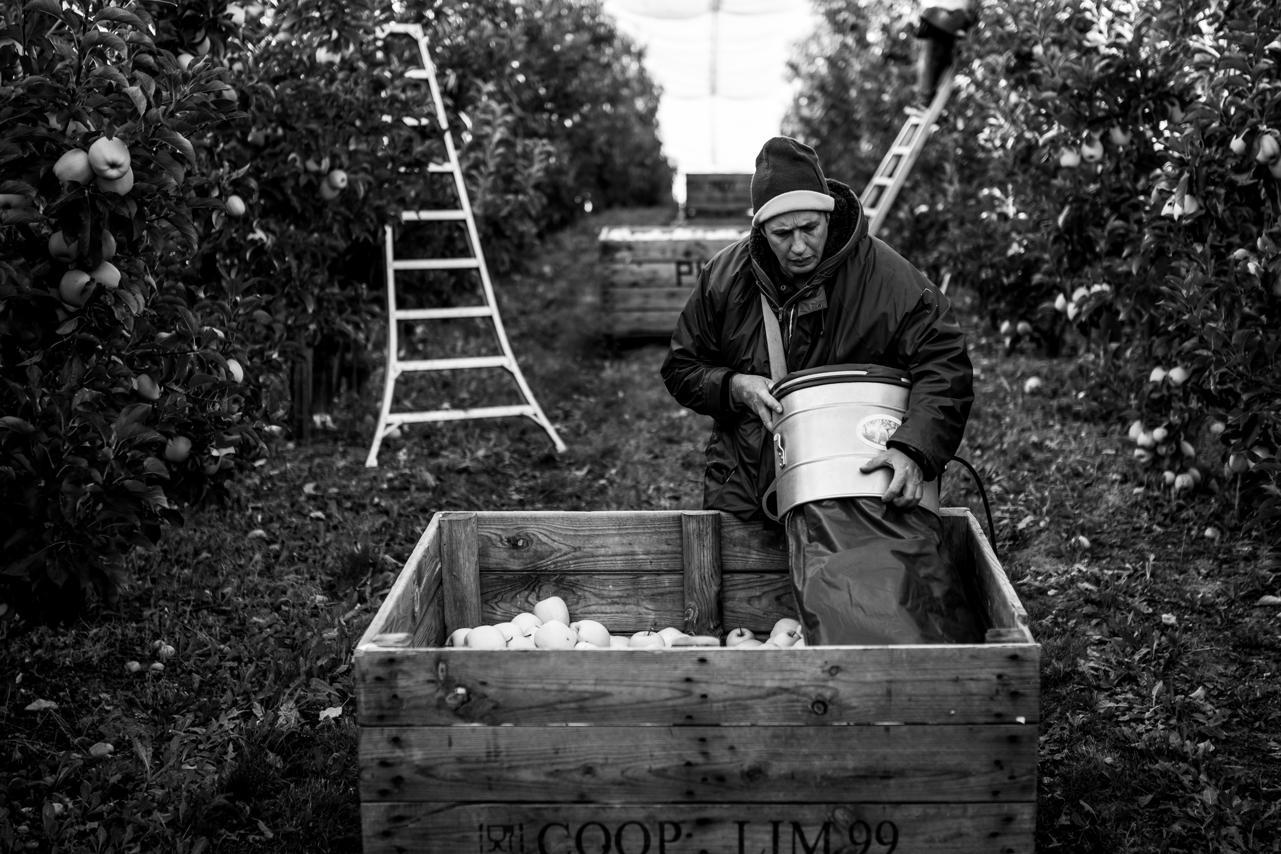 The collection of the apple in France is a seasonal work that takes place between the months of September and October.